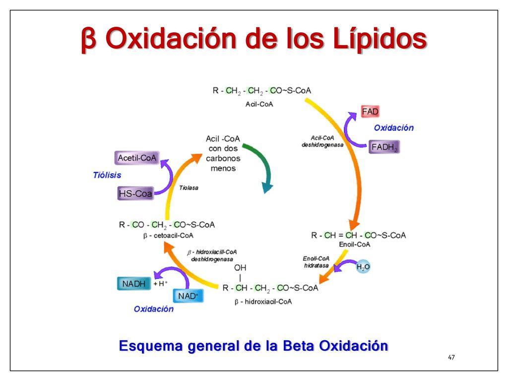 Unidad tem tica metabolismo de l pidos primera parte ppt for Definicion de beta