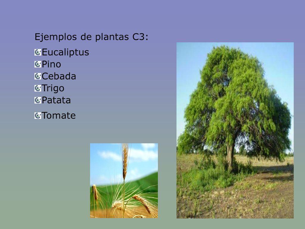 Ejemplos de plantas C3: Eucaliptus Pino Cebada Trigo Patata Tomate