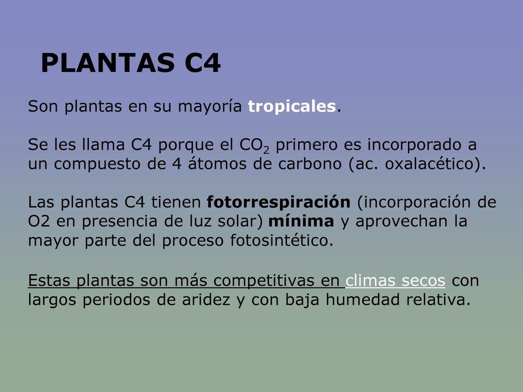 PLANTAS C4 Son plantas en su mayoría tropicales.