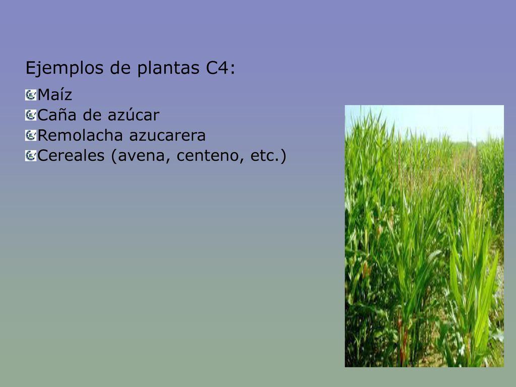 Ejemplos de plantas C4: Maíz Caña de azúcar Remolacha azucarera