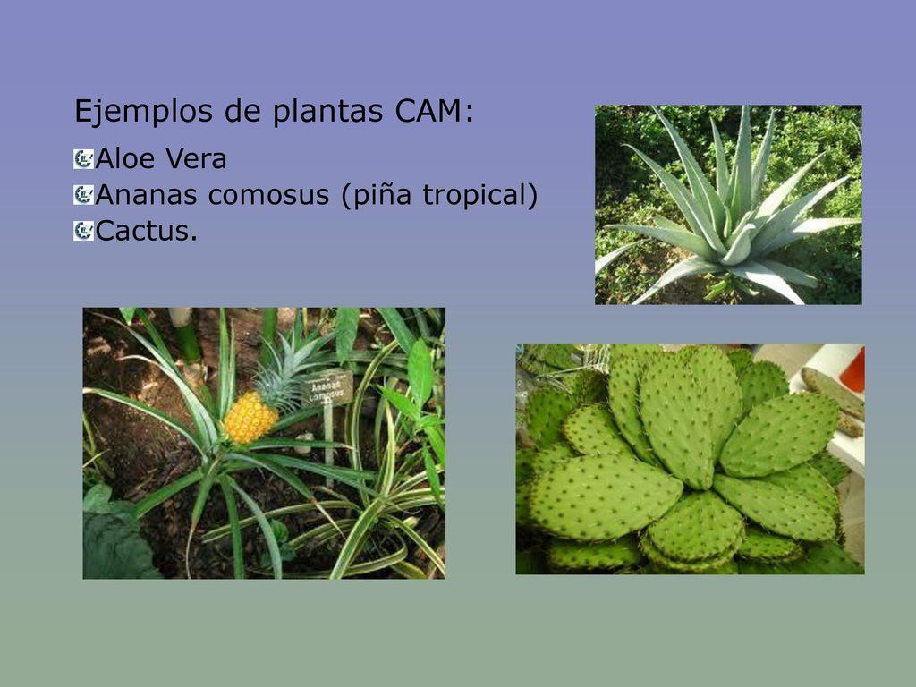 Ejemplos de plantas CAM: