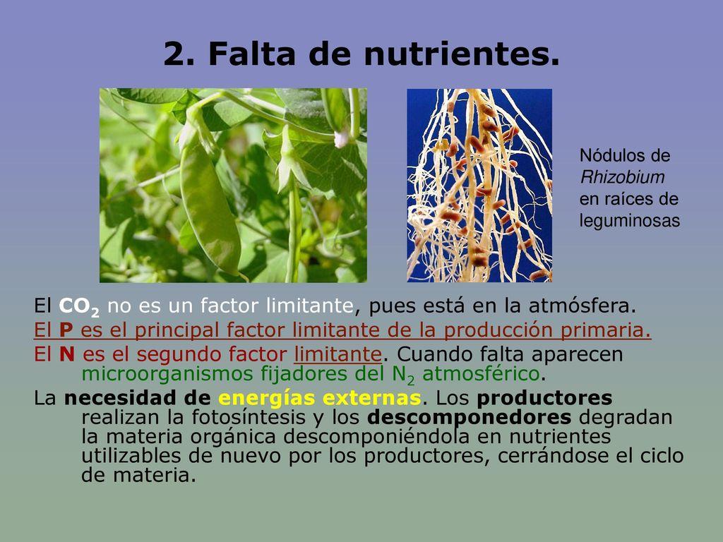 2. Falta de nutrientes. Nódulos de Rhizobium en raíces de leguminosas. El CO2 no es un factor limitante, pues está en la atmósfera.