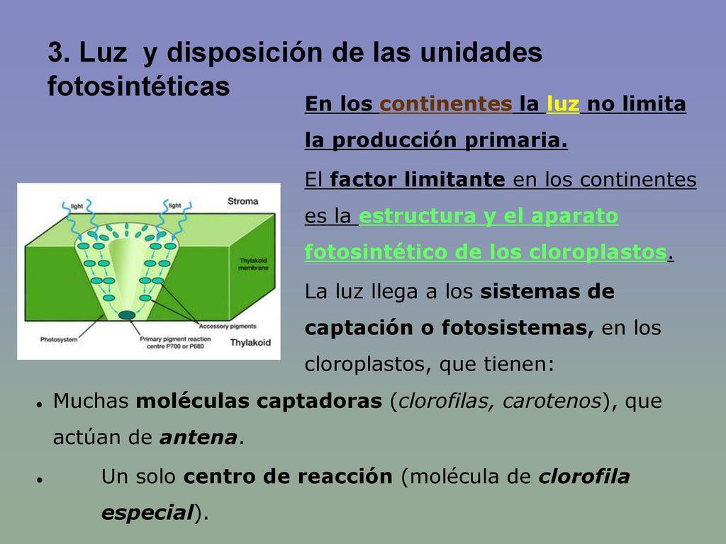 3. Luz y disposición de las unidades fotosintéticas