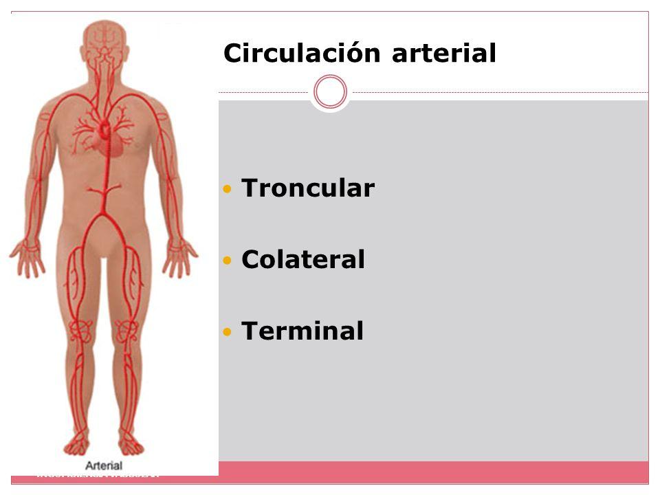 Circulación arterial Troncular Colateral Terminal