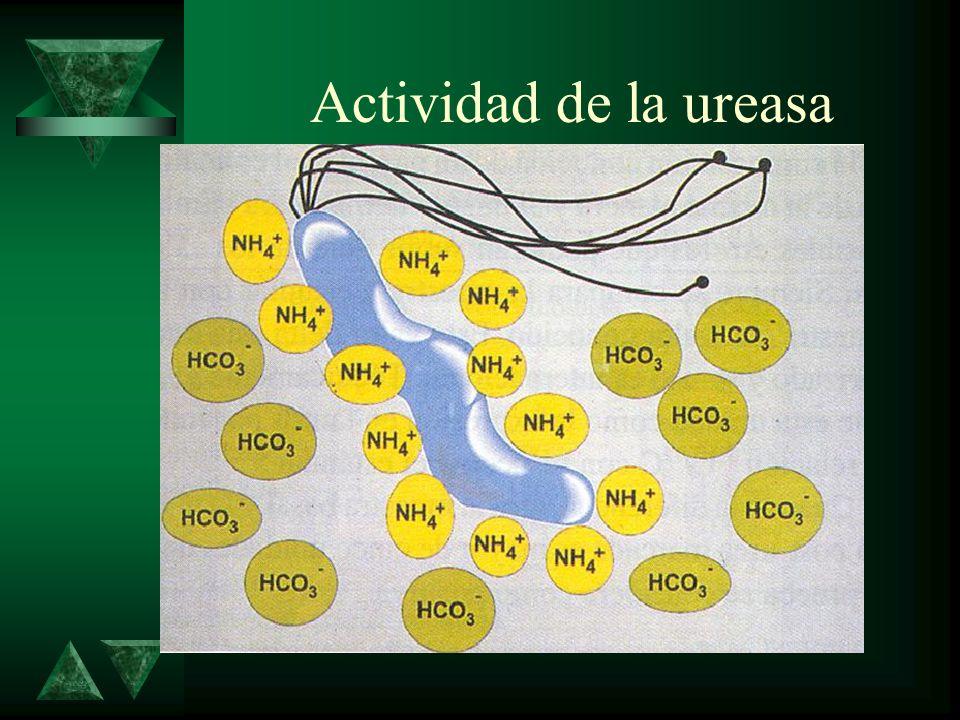 Actividad de la ureasa
