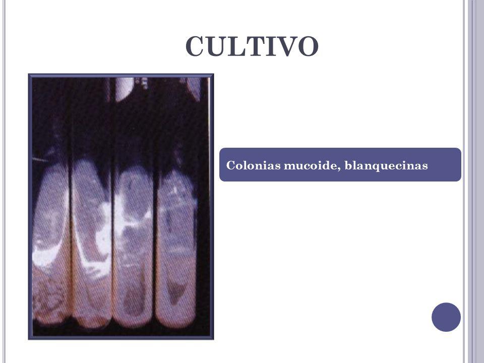 CULTIVO Colonias mucoide, blanquecinas