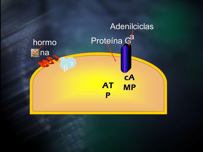 Adenilciclasa Proteína G hormona b g a cAMP ATP