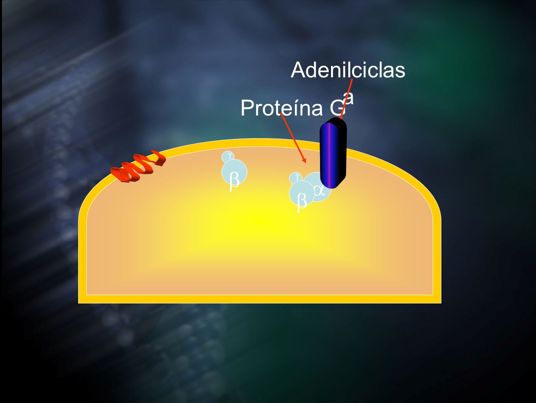 Adenilciclasa Proteína G b a b g g