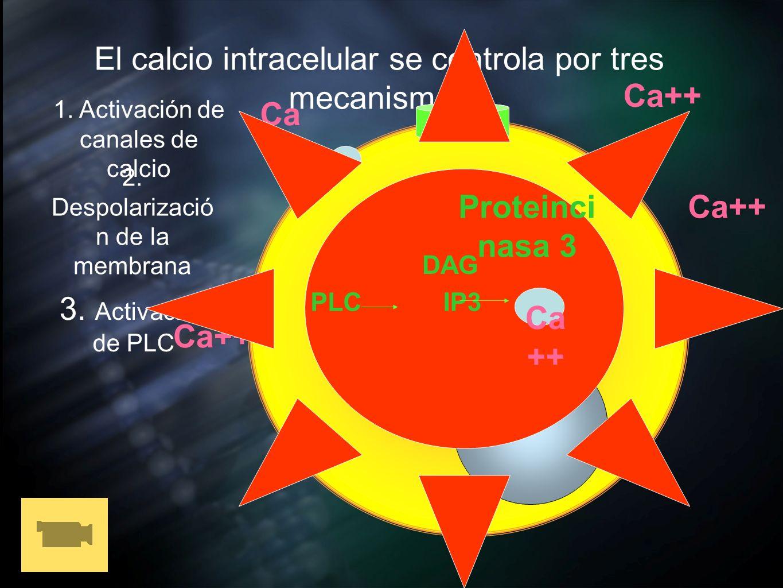 Ca++ Ca++ Proteincinasa 3 Ca++ Ca++ Ca++