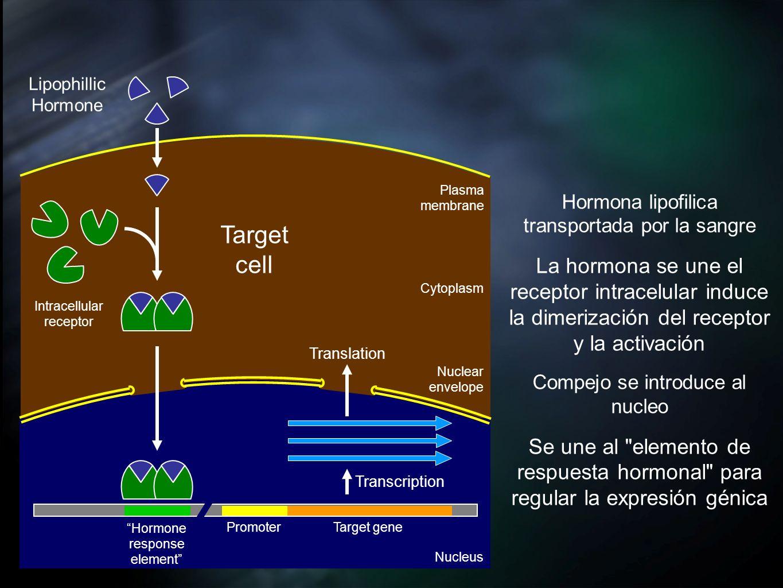Lipophillic Hormone. Plasma membrane. Hormona lipofilica transportada por la sangre.