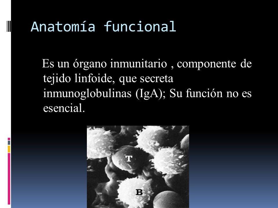 Anatomía funcional Es un órgano inmunitario , componente de tejido linfoide, que secreta inmunoglobulinas (IgA); Su función no es esencial.