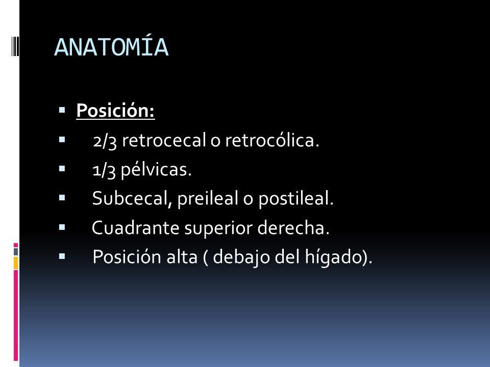 ANATOMÍA Posición: 2/3 retrocecal o retrocólica. 1/3 pélvicas.