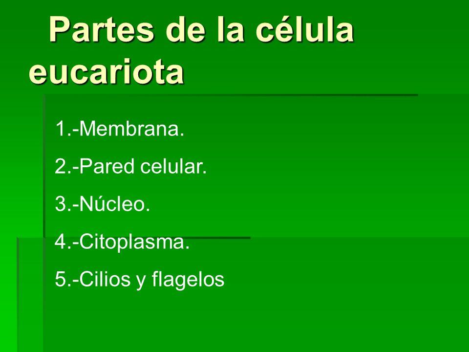 Partes de la célula eucariota
