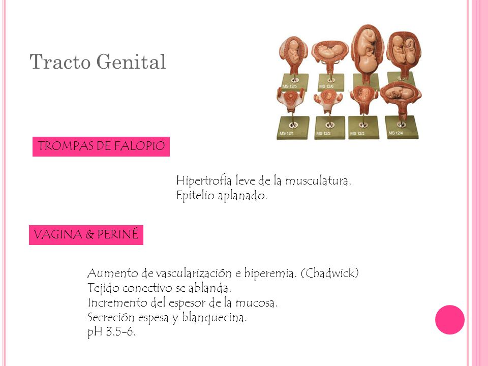 Tracto Genital TROMPAS DE FALOPIO Hipertrofia leve de la musculatura.