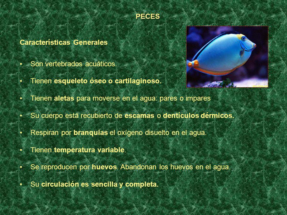 PECES Características Generales. Son vertebrados acuáticos. Tienen esqueleto óseo o cartilaginoso.