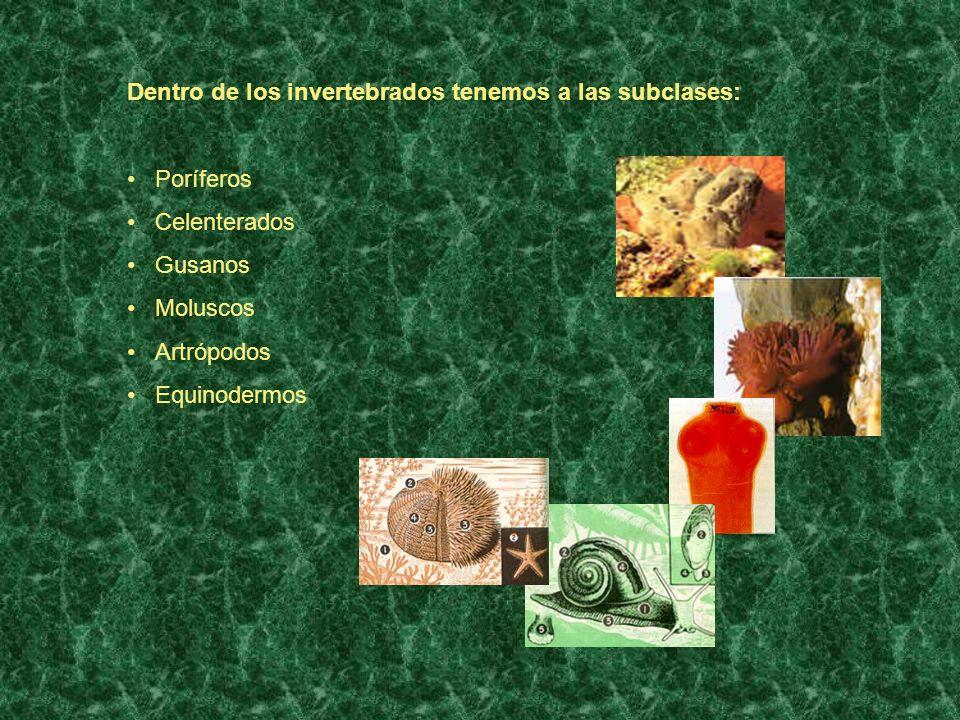 Dentro de los invertebrados tenemos a las subclases: