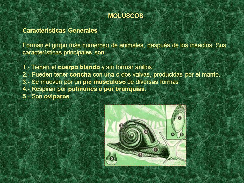 MOLUSCOS Características Generales. Forman el grupo más numeroso de animales, después de los insectos. Sus características principales son: