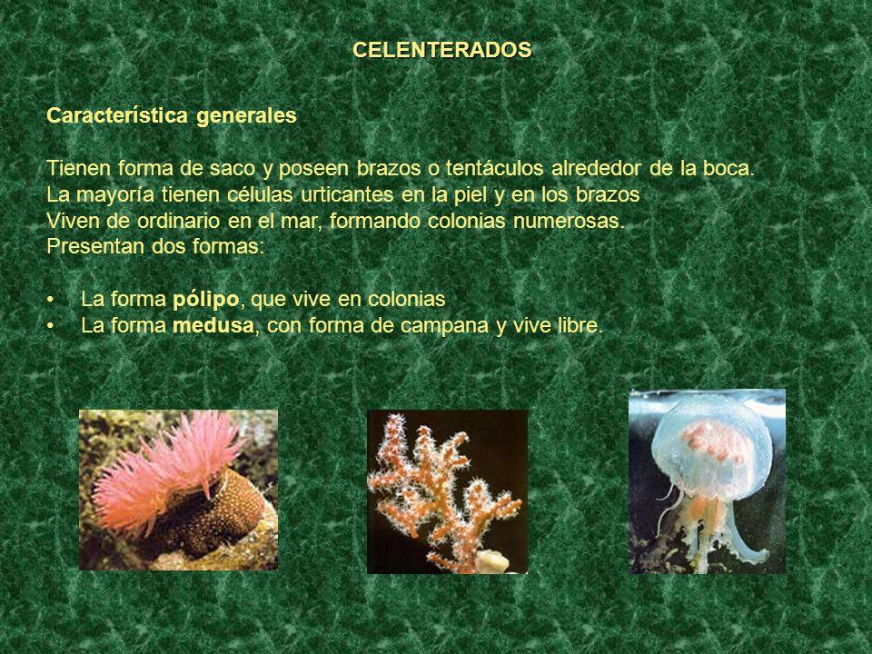 CELENTERADOS Característica generales. Tienen forma de saco y poseen brazos o tentáculos alrededor de la boca.