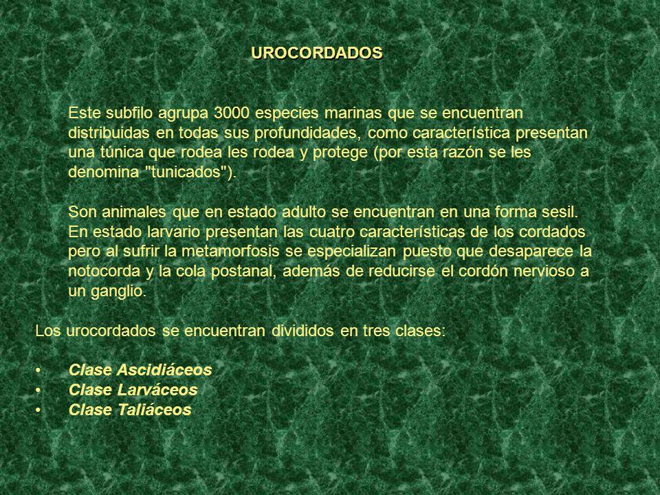 UROCORDADOS