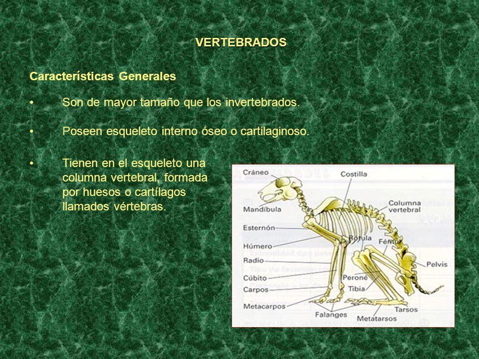 VERTEBRADOS Características Generales. Son de mayor tamaño que los invertebrados. Poseen esqueleto interno óseo o cartilaginoso.