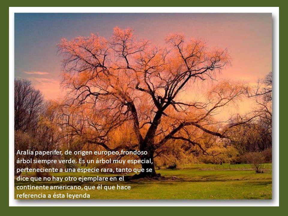 Aralia paperifer, de origen europeo,frondoso árbol siempre verde