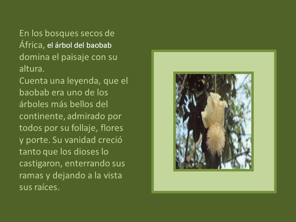 En los bosques secos de África, el árbol del baobab domina el paisaje con su altura.