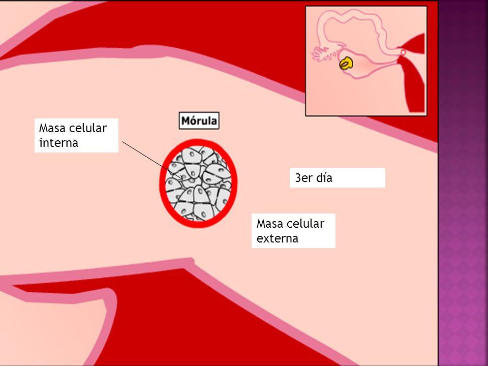 Masa celular interna 30 hrs de la fecundación 3er día Masa celular externa A las 40 hrs