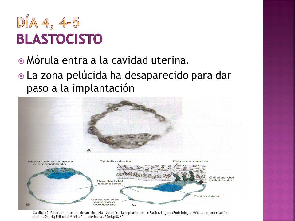 Día 4, 4-5 Blastocisto Mórula entra a la cavidad uterina.
