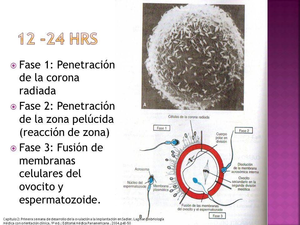 12 -24 hrs Fase 1: Penetración de la corona radiada