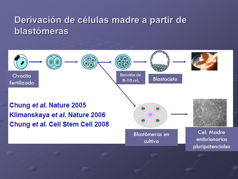 Derivación de células madre a partir de blastómeras