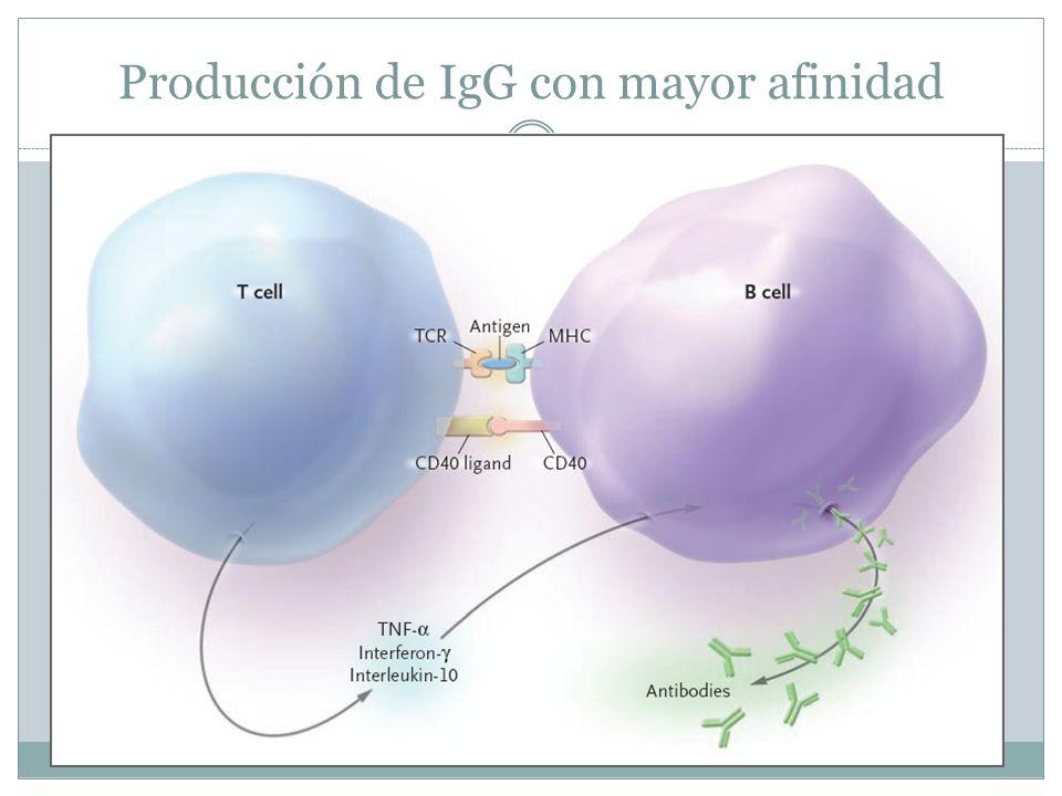 Producción de IgG con mayor afinidad