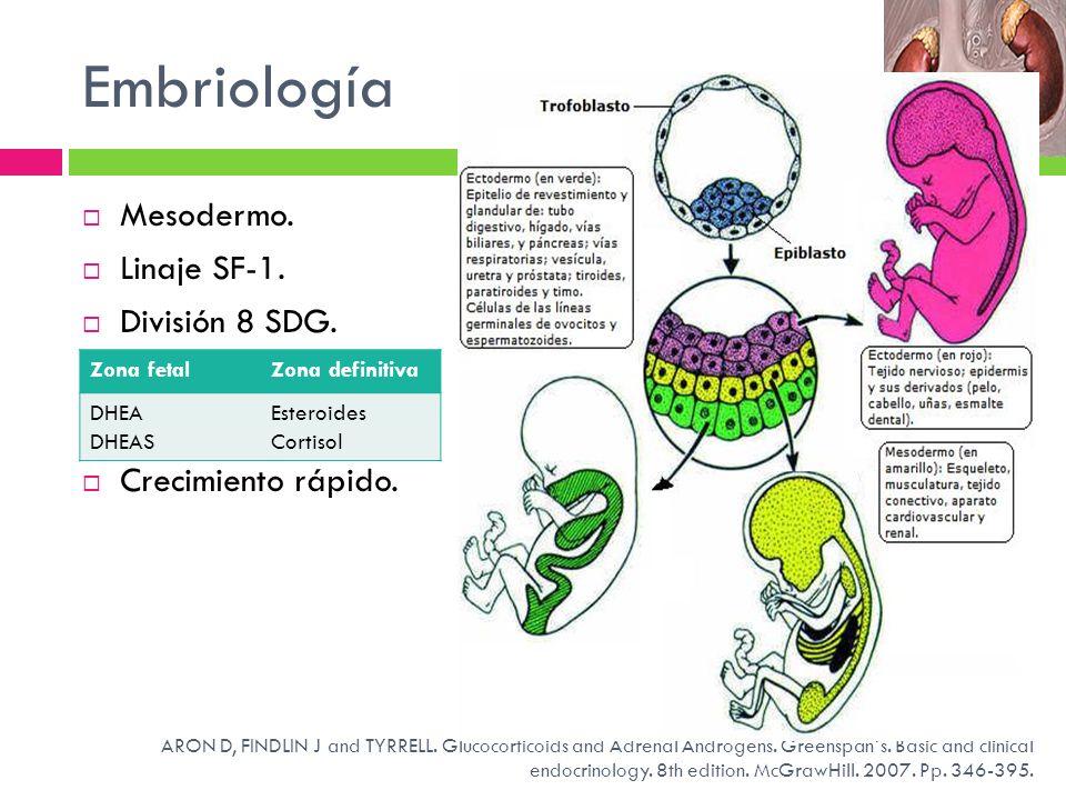 Embriología Mesodermo. Linaje SF-1. División 8 SDG.
