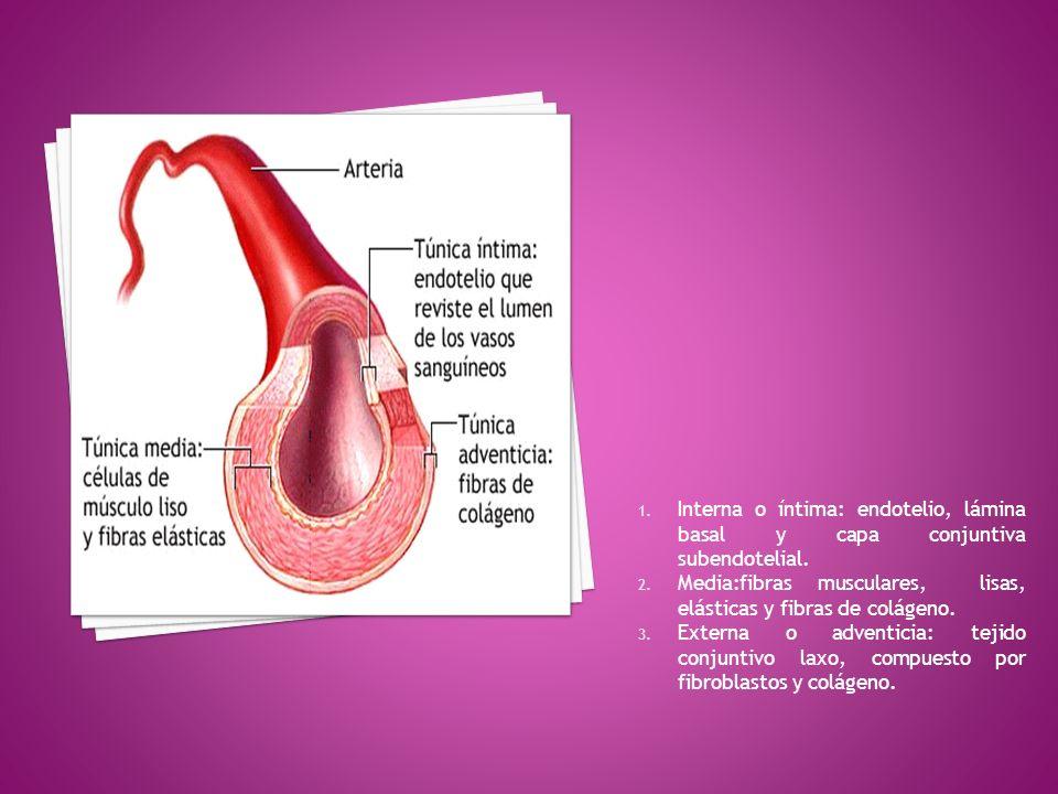 Interna o íntima: endotelio, lámina basal y capa conjuntiva subendotelial.
