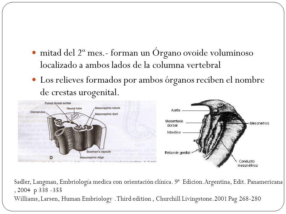 mitad del 2º mes.- forman un Órgano ovoide voluminoso localizado a ambos lados de la columna vertebral