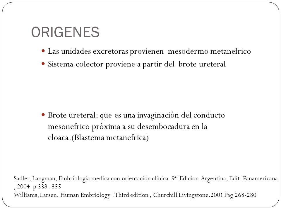 ORIGENES Las unidades excretoras provienen mesodermo metanefrico