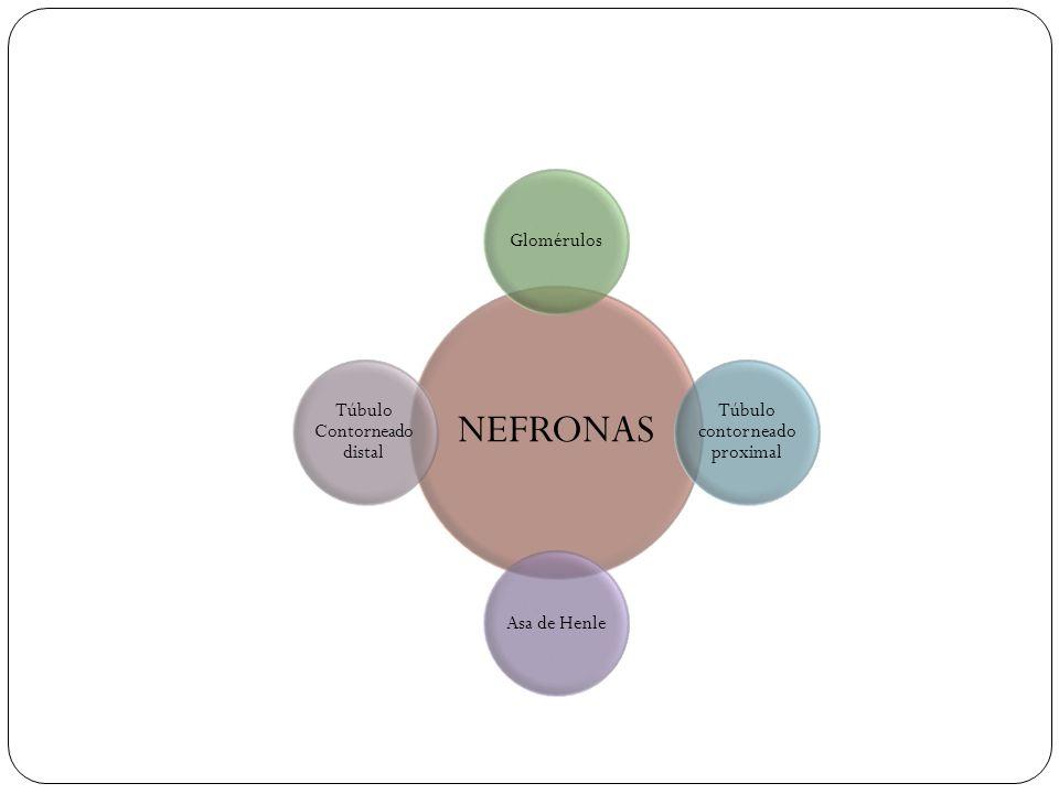 La nefrona unidad funcional y estructural