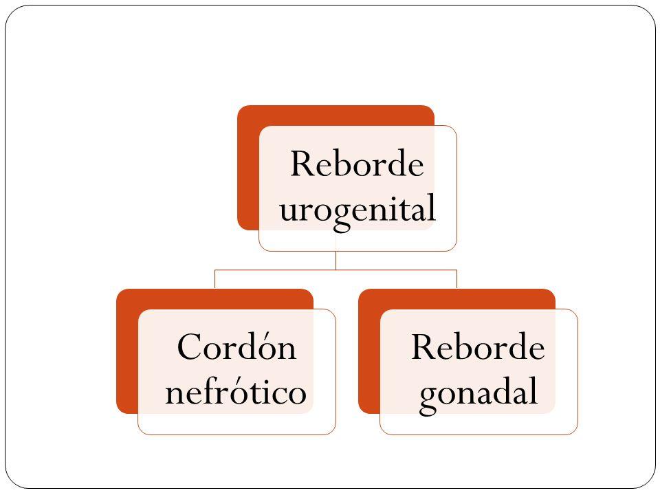Reborde urogenital Cordón nefrótico. Reborde gonadal.