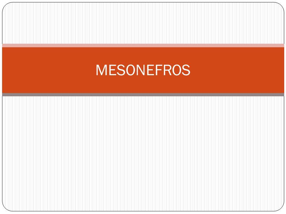 MESONEFROS LOS MESONEFROS APARECEN EN LA 4ª SEMANA