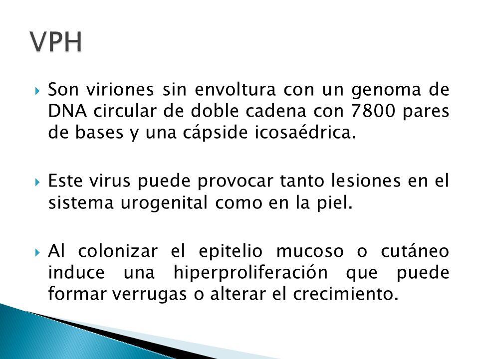 VPH Son viriones sin envoltura con un genoma de DNA circular de doble cadena con 7800 pares de bases y una cápside icosaédrica.