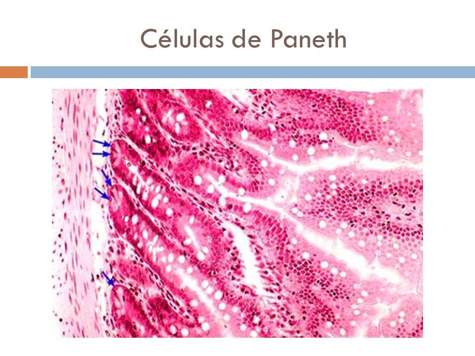 Células de Paneth