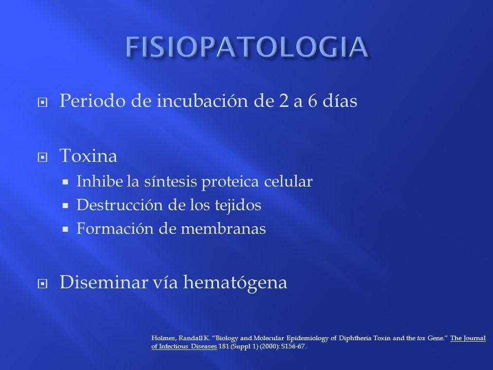 FISIOPATOLOGIA Periodo de incubación de 2 a 6 días Toxina