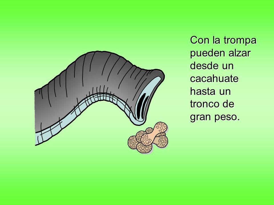 Con la trompa pueden alzar desde un cacahuate hasta un tronco de gran peso.