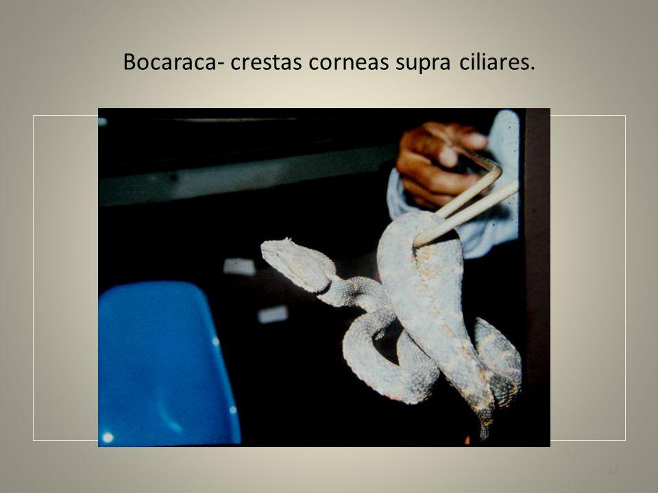 Bocaraca- crestas corneas supra ciliares.