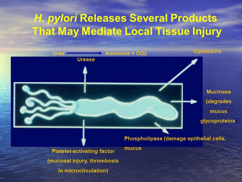 H. pylori Releases Several Products