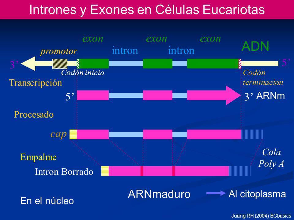 Intrones y Exones en Células Eucariotas