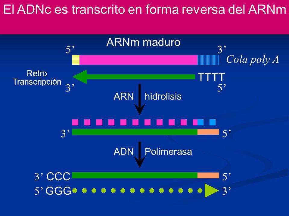 El ADNc es transcrito en forma reversa del ARNm