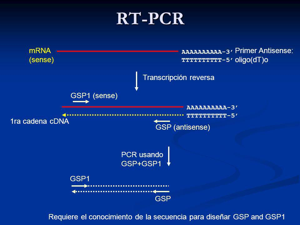 RT-PCR mRNA (sense) Primer Antisense: oligo(dT)o Transcripción reversa