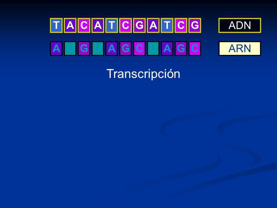 T C A G ADN A G U C ARN Transcripción C1-21