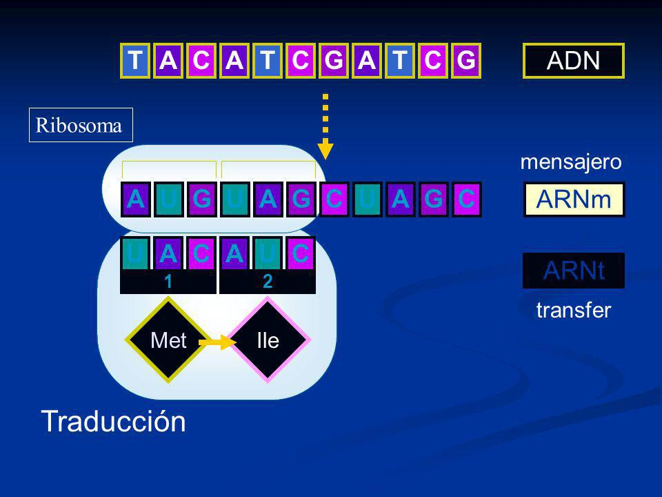 Traducción T A C A T C G A T C G ADN A G U C ARNm U A C A U C ARNt