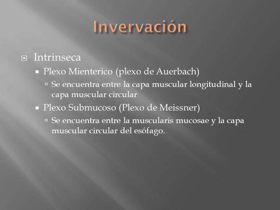 Invervación Intrinseca Plexo Mienterico (plexo de Auerbach)